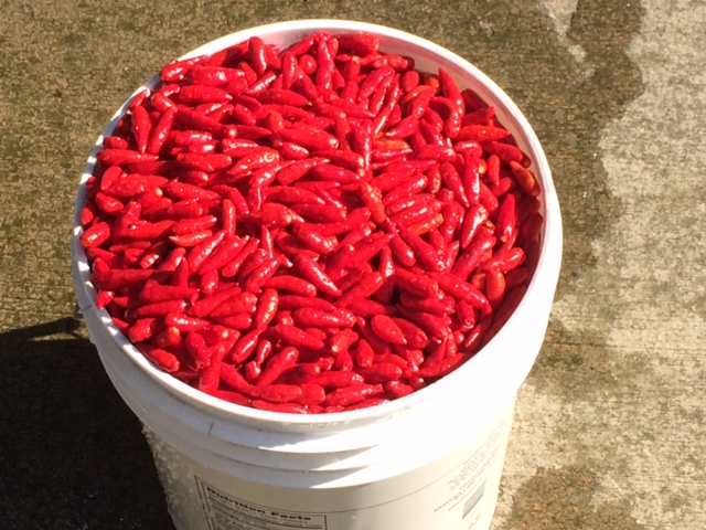 A bucket of just-harvested peri-peri peppers.