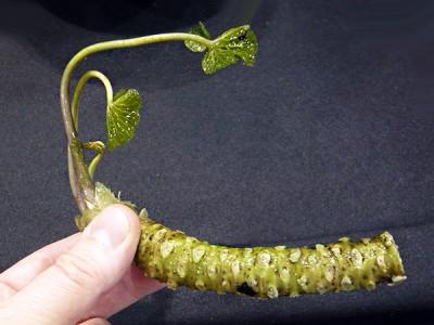 The original stem.