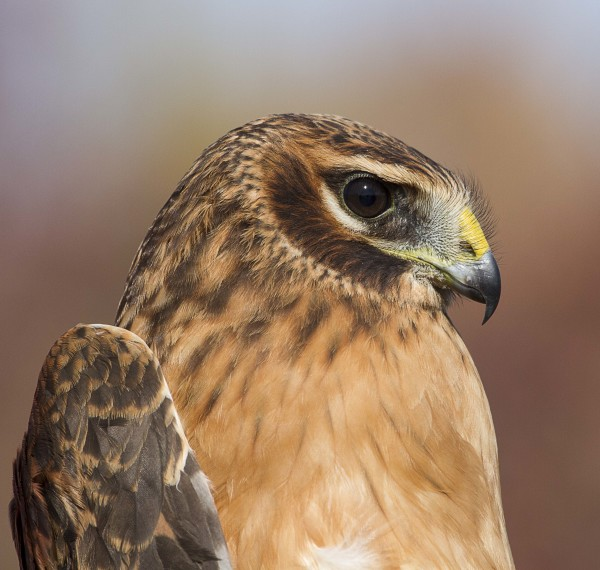 Young Harrier